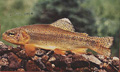 Apache Trout, Golden Trout species are still found in remote regions were untouched rivers lie in a state of balance, backbacking and hiking permits availible at reasonable prices.